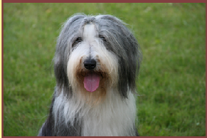 Bearded Collie Shae-Lynn